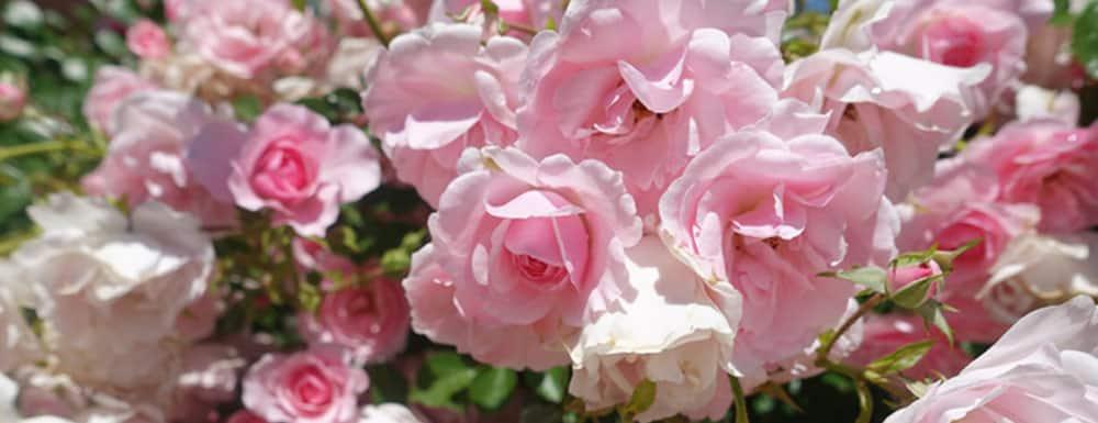 Rosen für Bio-Rosenwasser