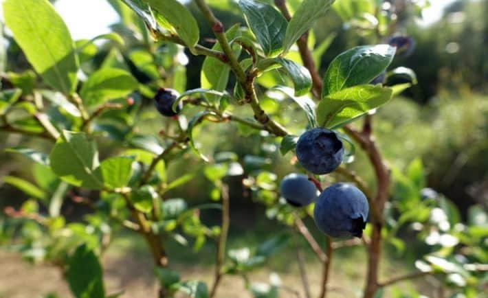 Bio-Heidelbeeren selber pflücken