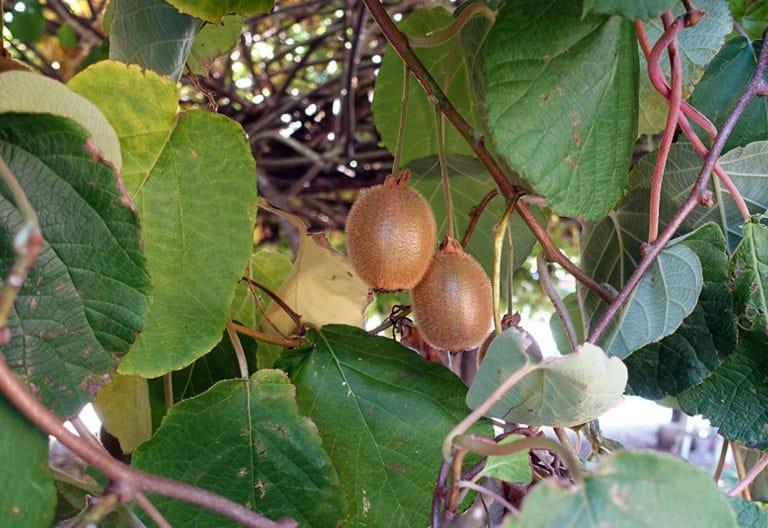 Bio-Kiwi-Baum