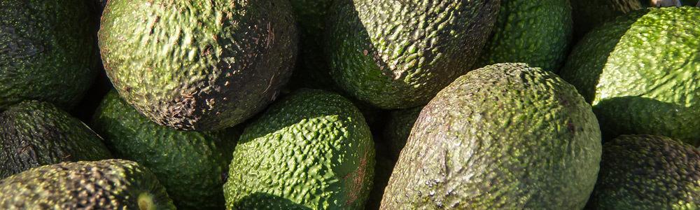 Avocado zur Herstellung von Avocadoöl