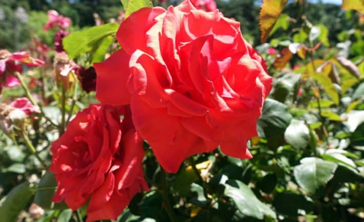Rose – Duftpflanze des Jahres 2017