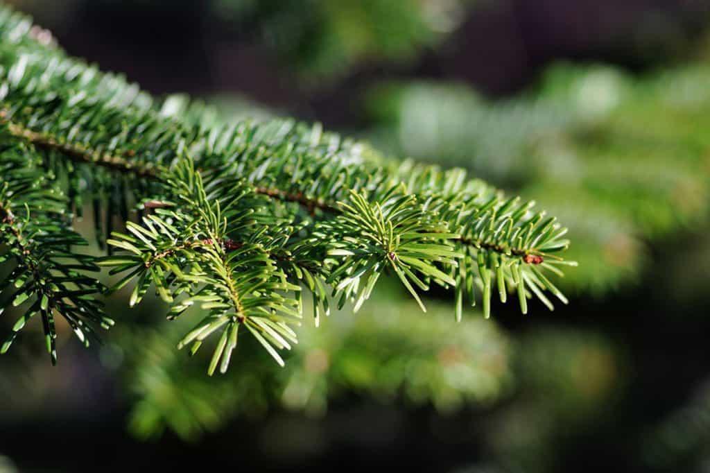 Bio-Weihnachtsbaum