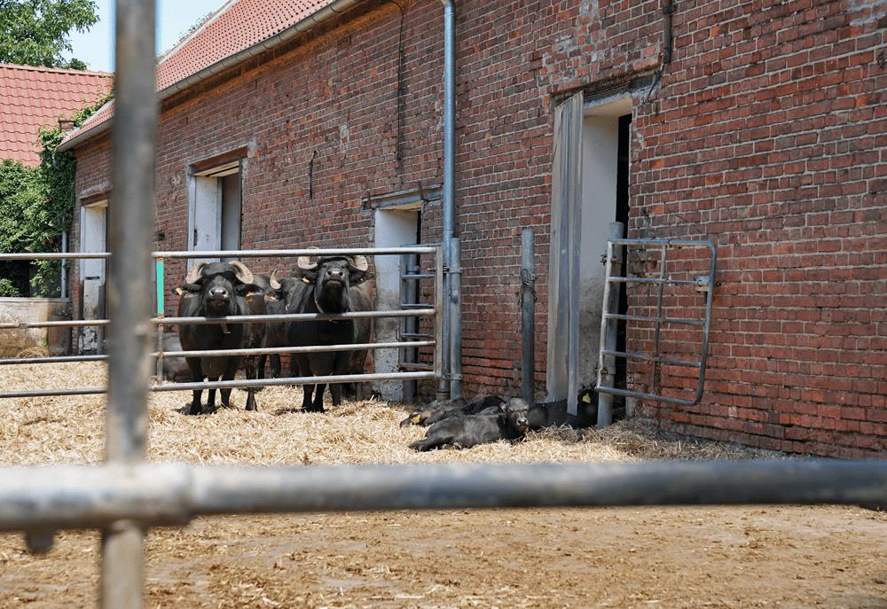 Bio-Büffel