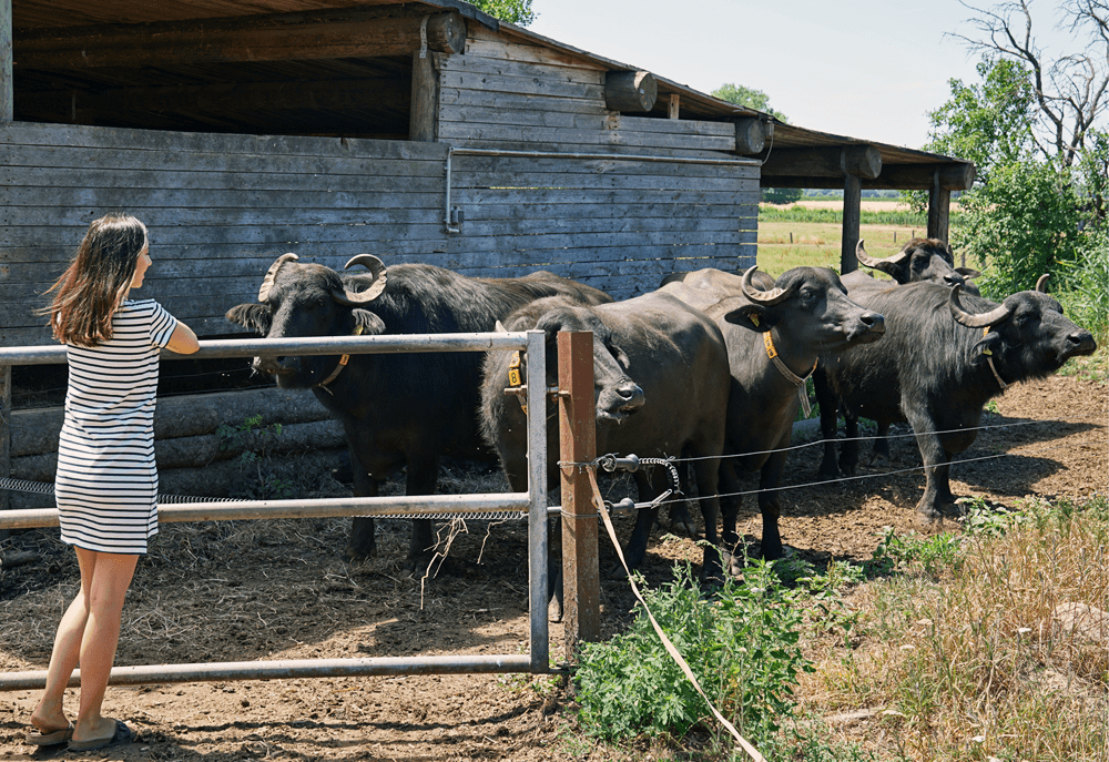 Bobalis Büffel