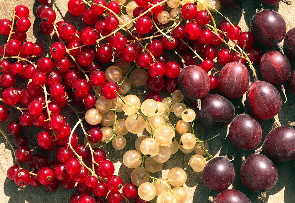 Johannisbeeren Stachelbeeren